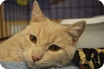 Domestic Shorthair Cat for adoption in Chino, California - Dustin