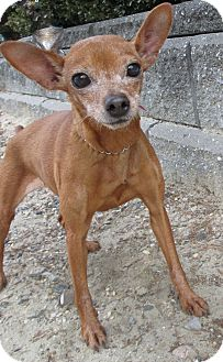 Chihuahua Mix Dog for adoption in Forked River, New Jersey - Nellie