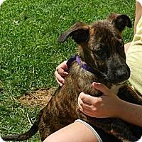 Adopt A Pet :: Mickey - South Jersey, NJ