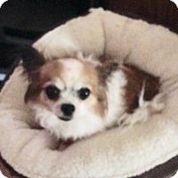 Adopt A Pet :: Lola - Seattle, WA