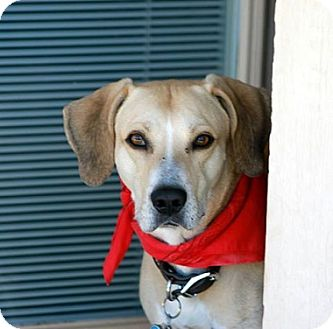 Labrador Retriever Mix Dog for adoption in Austin, Texas - Buck