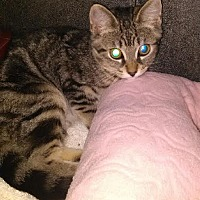Adopt A Pet :: Joy Joy - Bloomingdale, NJ