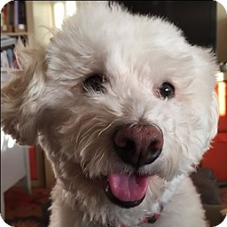Bichon Frise Mix Dog for adoption in La Costa, California - Dancer