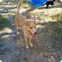 Adopt A Pet :: Honey Bear - Danbury, CT