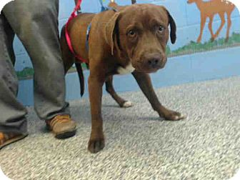 Labrador Retriever Mix Dog for adoption in San Bernardino, California - URGENT on 3/25 SAN BERNARDINO