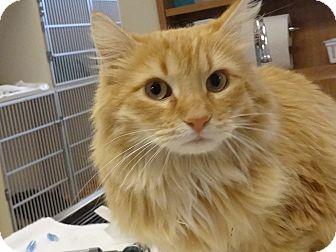 Domestic Longhair Cat for adoption in Fountain Hills, Arizona - RUSTY