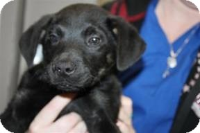 Rottweiler/German Shepherd Dog Mix Puppy for adoption in Marlton, New Jersey - Adrian