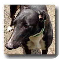 Adopt A Pet :: Tin Man - Roanoke, VA