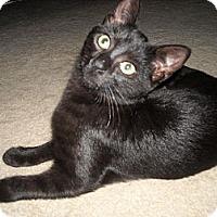 Adopt A Pet :: Bond Girl - Arlington, VA