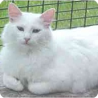 Adopt A Pet :: Snowball - Lunenburg, MA