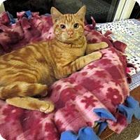 Adopt A Pet :: Garfield (Gentle;Affectionate) - Arlington, VA