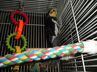 Cockatiel for adoption in Neenah, Wisconsin - Teddy and Tweety