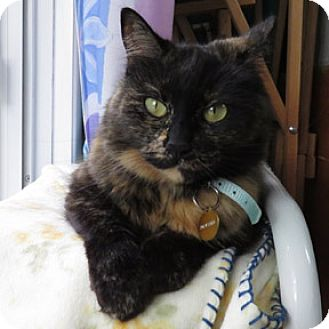 Domestic Shorthair Cat for adoption in Verdun, Quebec - Panchita