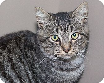 Domestic Shorthair Cat for adoption in Elmwood Park, New Jersey - Tommy