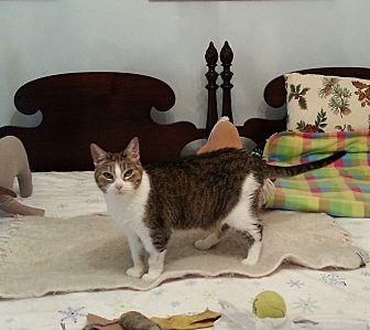 Domestic Shorthair Cat for adoption in Roseville, Minnesota - Bette Alice