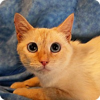 Siamese Cat for adoption in Greensboro, North Carolina - Moulan