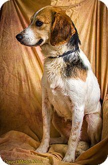 Beagle Dog for adoption in Anna, Illinois - WAYLON