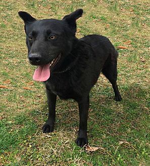 Labrador Retriever Mix Dog for adoption in Columbia, Tennessee - Leonard