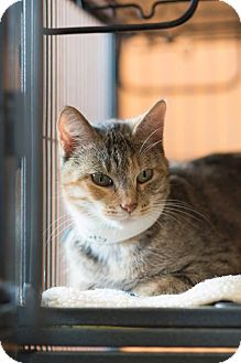 Domestic Shorthair Cat for adoption in New Orleans, Louisiana - Clara