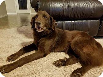 Golden Retriever Dog for adoption in Killeen, Texas - Wilson