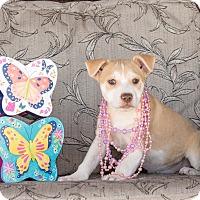 Adopt A Pet :: Serrano - Chandler, AZ