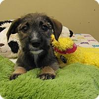 Adopt A Pet :: Cappi - Groton, MA
