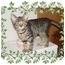 Photo 2 - Domestic Shorthair Kitten for adoption in KANSAS, Missouri - Star