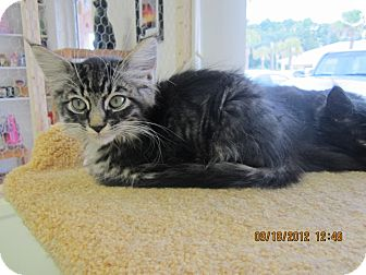 Domestic Longhair Kitten for adoption in Bunnell, Florida - Rufus