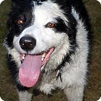 Adopt A Pet :: Gretchen - DEAF - Post Falls, ID