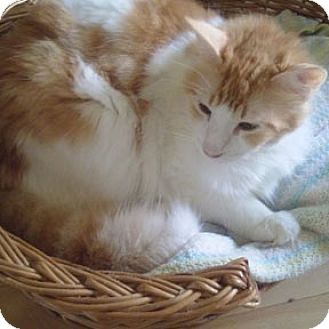 Domestic Mediumhair Cat for adoption in Verdun, Quebec - Weston