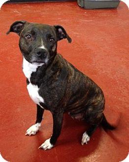 Boxer Mix Dog for adoption in Florence, Indiana - Sheena