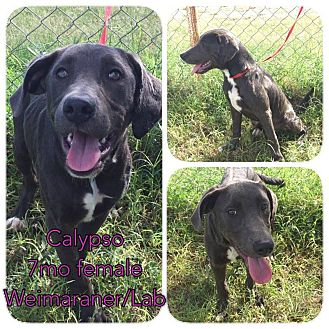 Weimaraner/Labrador Retriever Mix Puppy for adoption in DeForest, Wisconsin - Calypso