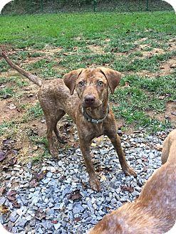 Catahoula Leopard Dog/Vizsla Mix Puppy for adoption in Arden, North Carolina - Callie