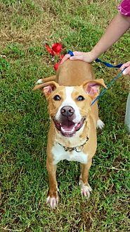 Labrador Retriever/American Bulldog Mix Dog for adoption in Hopewell, Virginia - Max