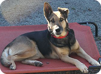 German Shepherd Dog Dog for adoption in Hollister, California - Lilac