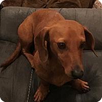 Dachshund Dog for adoption in Humble, Texas - Tate
