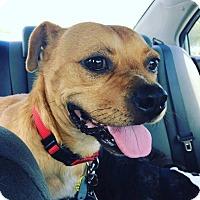Beagle/Boxer Mix Dog for adoption in Charlotte, North Carolina - Mugsy