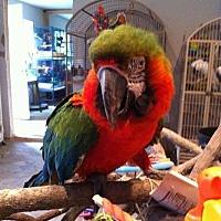 Adopt A Pet :: Carlos - harlequin - Blairstown, NJ