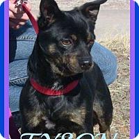 Adopt A Pet :: TYSON - Jersey City, NJ