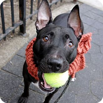 Bull Terrier Mix Dog for adoption in Ridgefield, Connecticut - Dante
