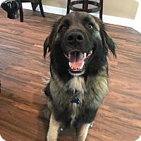 Adopt A Pet :: Kangaroo - Houston, TX