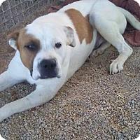 Adopt A Pet :: Ty - Las Vegas, NV