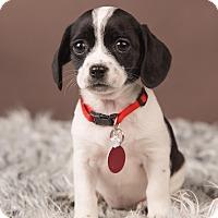 Adopt A Pet :: Blossom - Salem, OR