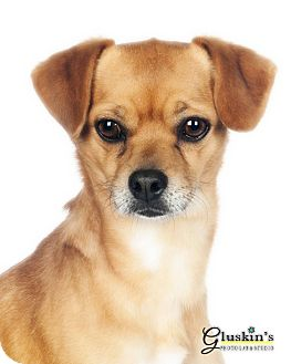 Terrier (Unknown Type, Small) Mix Dog for adoption in Lodi, California - Max