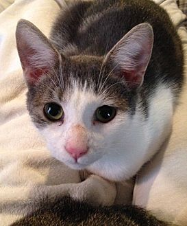 Domestic Shorthair Cat for adoption in Morganton, North Carolina - Jackson