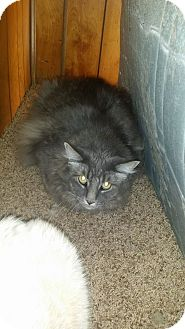 Maine Coon Cat for adoption in Levelland, Texas - Fatty
