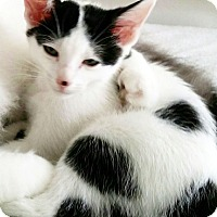 Domestic Shorthair Kitten for adoption in Arlington/Ft Worth, Texas - Eli