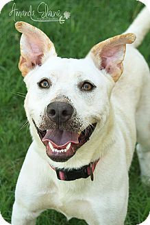 Pit Bull Terrier/Labrador Retriever Mix Dog for adoption in Pilot Point, Texas - SPOOK