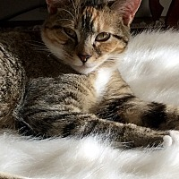 "Domestic Shorthair Cat for adoption in Beaufort, South Carolina - Winnipeg ""Winnie"""