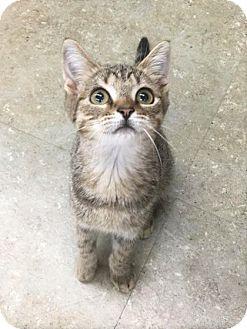 Domestic Shorthair Kitten for adoption in Astoria, New York - little Mr. Gula